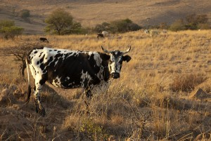 nguni cattle, nguni cow, south africa.